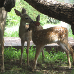 two fawns on lawn