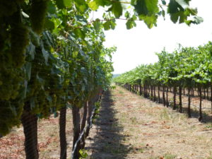 New Clairvaux goes organic: rows of grapevines on trellis