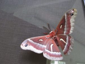 pink and white moth on net